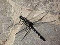 Dragonfly - Sieboldius albardae - 小鬼蜻蜒(コオニヤンマ) (7600096290).jpg