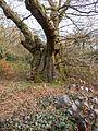 Druid's Oak (6958364350).jpg