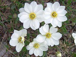Dryas octopetala - Image: Dryas octopetala a 4