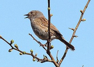 Dunnock - Dunnock singing from high perch