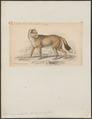 Dusicyon antarcticus - 1833-1866 - Print - Iconographia Zoologica - Special Collections University of Amsterdam - UBA01 IZ22200311.tif