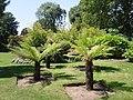 Dwarf palms - geograph.org.uk - 1454086.jpg