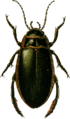 Dytiscus circumflexus Jacobson.png
