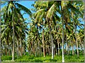 EFATE - Coconut Trees - panoramio.jpg