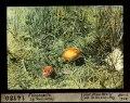 ETH-BIB-Fliegenpilze, Lej Nair, Surlej-Dia 247-14180.tif