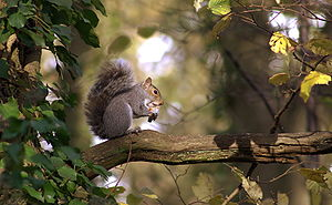 Eastern Gray Squirrel sitting on a branch