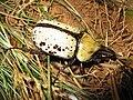 Eastern Hercules Beetle.jpg