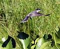 Eastern Kingbird 2 (4770330164).jpg