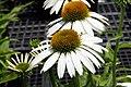 Echinacea purpurea Cygnet White 6zz.jpg