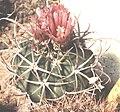 Echinocactus texensis 3.jpg