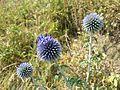 Echinops ritro subsp. ruthenicus sl11.jpg