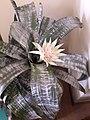 Echmea wstęgowata (Aechmea fasciata) jasny kwiat 03.jpg