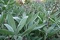 Echte salie (Salvia officinalis L., Salvia crispa maior) Hortus Botanicus Leiden (NL) 2.jpg