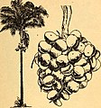 Edible and poisonous plants of the Caribbean region (1944) (21171541341).jpg
