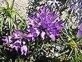 Edraianthus graminifolius 2.JPG