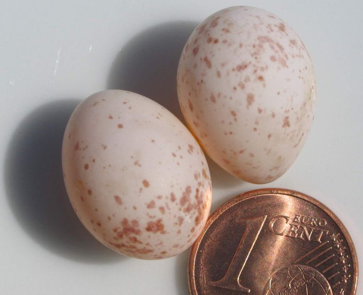 Slika:Eggs of Parus major.jpg