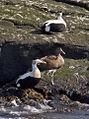 Eider Ducks (4535666092).jpg