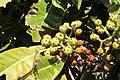 Eigenartig geformte Früchte, Botanischer Garten von Madeira.jpg