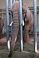 Eléphant d'Afrique Zoo d'Amnéville 27082010 03.jpg