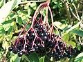 Elder (Sambucus nigra) fruits (3961668575).jpg