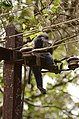 Electrocuted lion-tailed macaque infant in Valparai DSC 2546.jpg