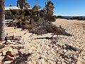 Emu running on the beach at Monkey Mia, July 2020 03.jpg