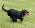 English Cocker Spaniel 9 May 2004 C.jpg