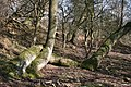 Entwined on Hollybush Hill - geograph.org.uk - 690075.jpg