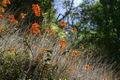 Epidendrum-radicans.jpg