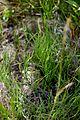 Equisetum arvense (16155479640).jpg