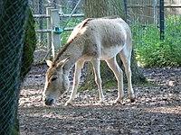 Equus hemionus kulan.JPG