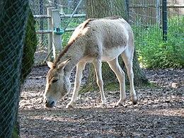 Kulán (Equus hemionus kulan)