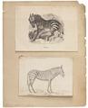 Equus zebra - 1700-1880 - Print - Iconographia Zoologica - Special Collections University of Amsterdam - UBA01 IZ21700023.tif