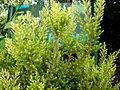Erica arborea 1c.JPG