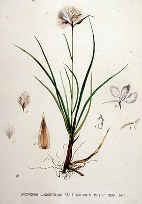 Schlanke Wollgras (Eriophorum gracile)n Illustration aus Flora Batava, Band 19, 1893