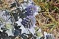 Eryngium maritimum (35954474120).jpg