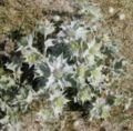 Eryngium maritimum 3.jpg