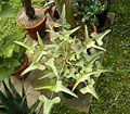 Erythrina herbacea 01 ies.jpg