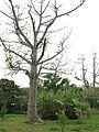 Erythrina variegata and musa basjoo in Shikina Garden.jpg