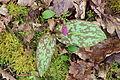 Erythronium dens-canis Chancy 24 03 2014 13.jpg