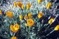 Eschscholzia californica WPC.jpg