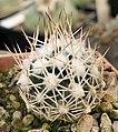 Escobaria robbinsorum 1116.jpg