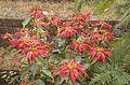Ethiopian Poinsettia Bush (3427137868).jpg