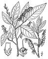 Eubotrys racemosa (L.) Nutt Swamp doghobble.tiff