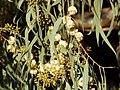 Eucaliptus rostrata.jpg