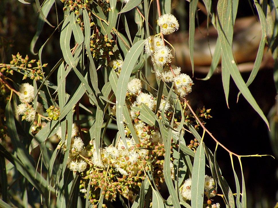Eucaliptus rostrata