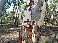 Eucalyptus mannifera (5372474378).jpg
