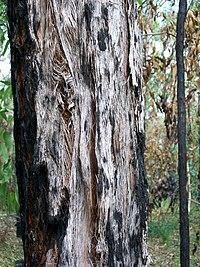 Eucalyptus oblonga bark Grosvenor Street