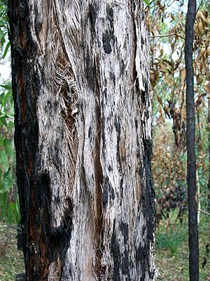 Stringybark - Stringybark of Eucalyptus oblonga