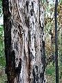 Eucalyptus oblonga bark Grosvenor Street.jpg